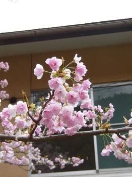 3 例年より濃いピンクの桜美505x673.jpg