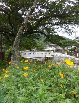 7.秋せまる疏水橋の橙色コスモス505x661.jpg