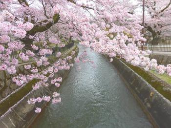 一灯園の桜 ピンクが濃い688x516.jpg