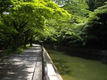 山科疎水6月初旬新緑663x497.jpg
