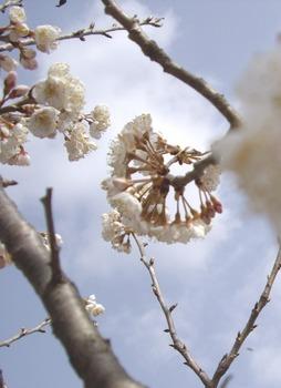 彼岸桜 疏水 499x686.jpg