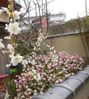 春香るジンチョウゲと桜 559x622.jpg