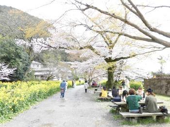 2ウェディング組山科疏水桜菜の花を楽しむ688x514.jpg