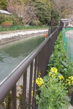 a疏水注水22日 2分咲き菜の花疏水沿い484x715.jpg